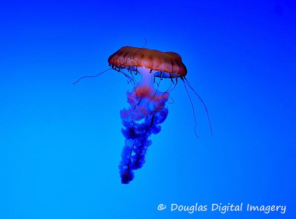 jellyfish002
