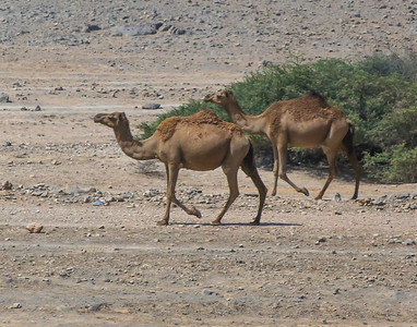 camels seem to roam free, but there is a herder nearby