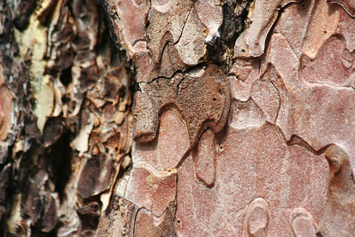 Ponderosa pine bark. Can you smell the vanillla?