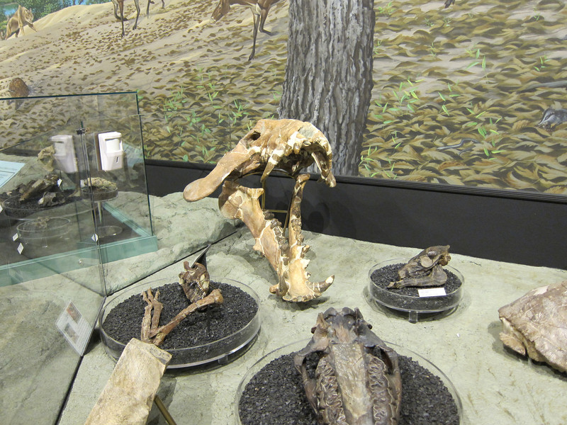 Exhibits of fossils from the Sheep Rock visitor center. Would not want to run into these saber tooth tigers and alligators when they had more meat on their bones.