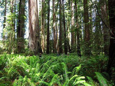 Redwood forest in Stout Grove, along the Howland Hill road, Jedediah Smith Redwoods State Park