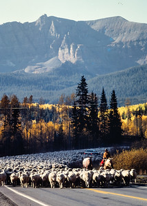 sheep+road-t0240