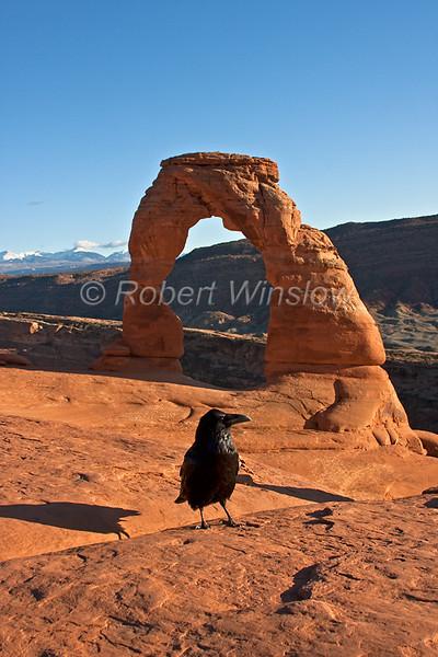 Raven at Delicate Arch 0728W8WM