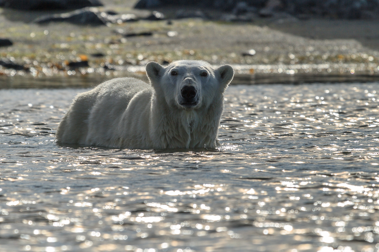 It is very unusual for Polar Bears to come into the water just to check out the Zodiacs.