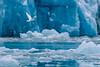 Lone Ivory Gull at Smeerenburg Glacier, Smeerenburgfjorden