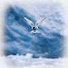 Arctic Tern fishing at Smeerenburg Glacier, Smeerenburgfjorden.