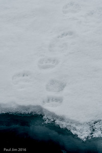 Polar Bear Prints in Snow