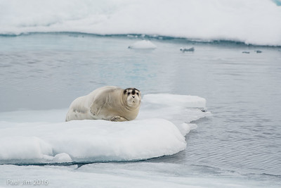 Bearded Seal, Erignathus barbatus
