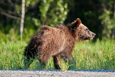 the curious cub