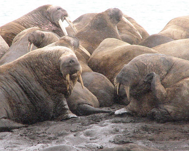 Walrus at haulout Lagoya island.  Herd had 30 individuals.