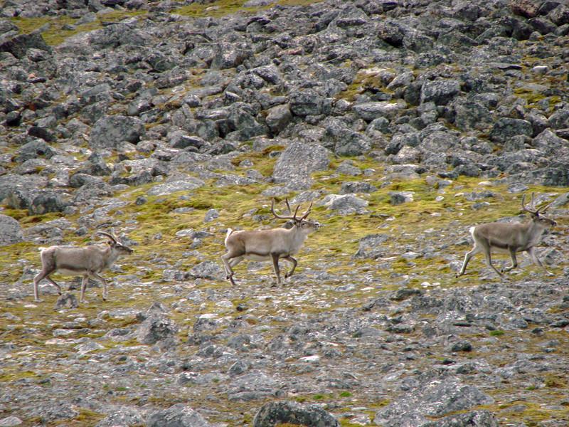 Reindeer (European Caribou)