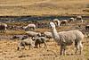 Los animales que se ven + a lo largo del camino entre Espinar & Arequipa - 34E - Arequipa - Perú<br /> <br /> The animals we saw most along the road from Espinar to Arequipa - 34E - Arequipa - Peru<br /> <br /> De dieren die we het meest zagen onderweg van Espinar naar Arequipa - 34E - Arequipa - Peru<br /> <br /> Les animaux que nous avons vus le plus fréquement le long de notre route de Espinar à Arequipa - 34E - Arequipa - Pérou