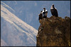 The massive condors of Colca Canyon