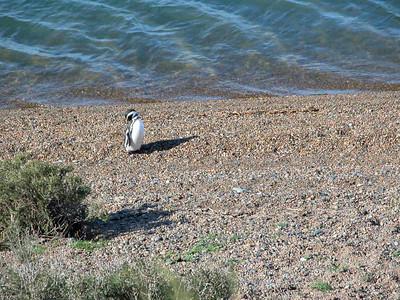 Argentina, northern Patagonia, Valdes peninsula - Gentoo Penguin