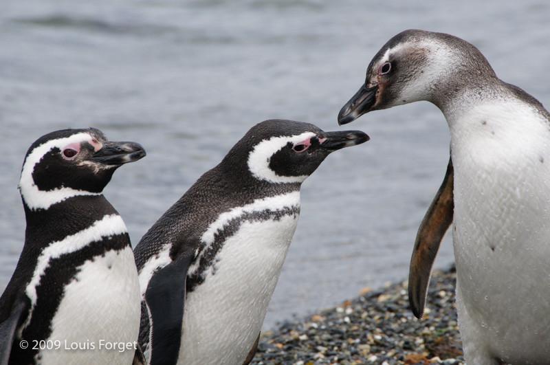 Magellanic Penguins, Isla Martillo, Tierra del Fuego