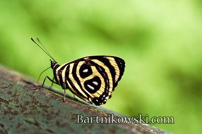 Butterfly in Iguazu Falls, Brazil