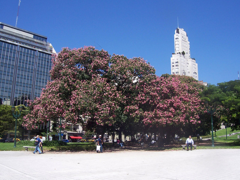 "<h3>A common tree in the parks is the ""palo borracho"" (drunken post).  These are becoming more common in San Diego, where it is called an ""orchid tree"".  It blooms in the fall.</h3>"