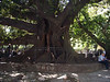 <h3>This magnolia tree is an example of the huge trees found in Buenos Aires' parks.</h3>
