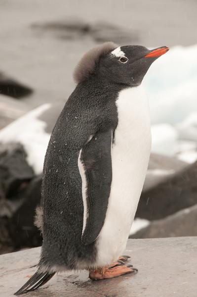 Puck Penguin