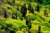 ARG-Candelabri Cactus, Salta-3510-05