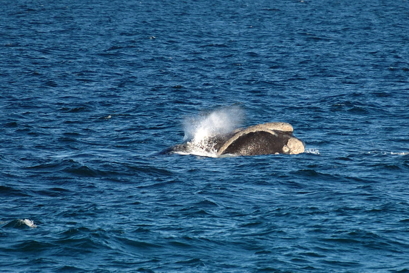 Southern Right Whale (Peninsula Valdes, Patagonia).