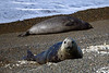 Two cow elephant seals.