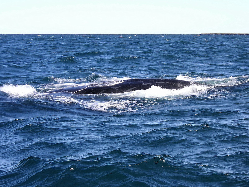 Southern Right Whale, Peninsula Valdes, Patagonia.
