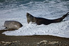 Southern Elephant Seal (Mirounga leonina). It is the largest member of the order Carnivora living today.