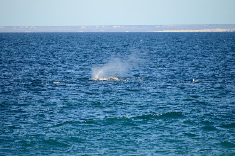 Southern Right Whale blowing. (Peninsula Valdes, Patagonia).