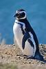 Magellanic Penguin (Peninsula Valdes, Patagonia).