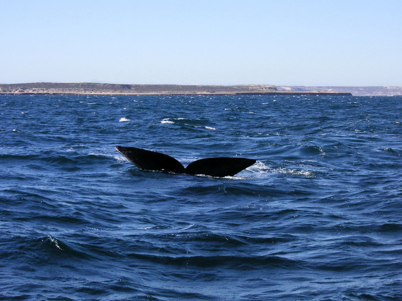 Submerging flukes of Southern Right Whale.