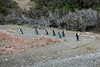 Penguins arriving ashore to start nesting.