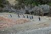 Penguins arriving ashore to start nesting.
