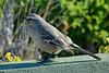 Southern American Mocking Bird, (Peninsula Valdes, Patagonia).