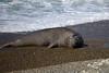 Bull elephant seal.  (Peninsula Valdes, Patagonia).