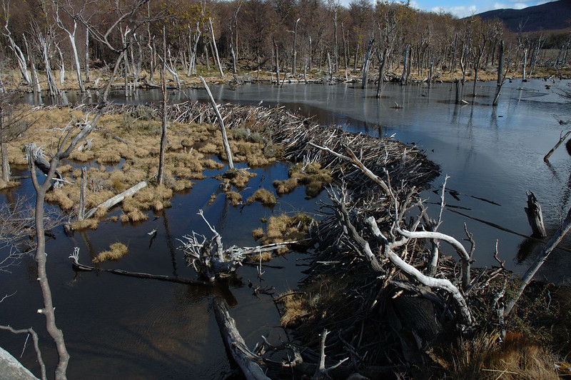 Beaver dam, Tierra del Fuego. The flooding due to the dam has caused the death of the standing trees.