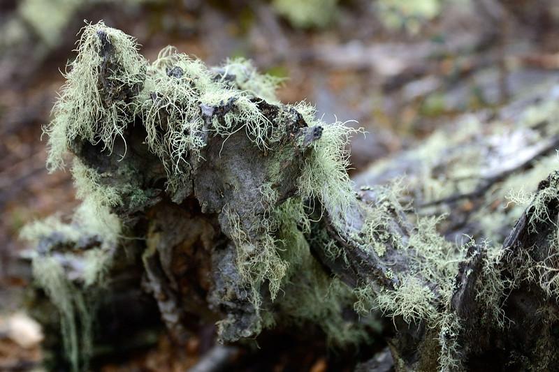 Lichen in abundance in absence of pollution.
