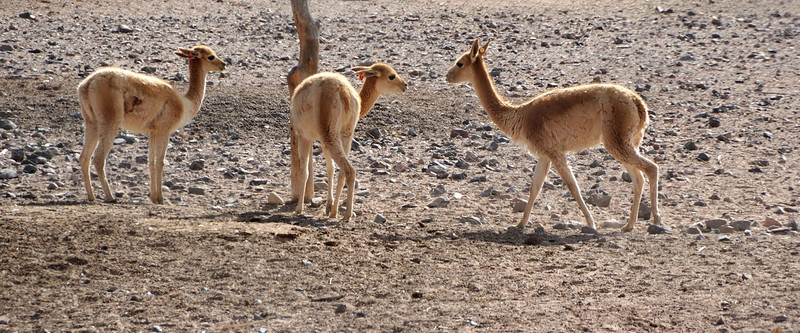 """<p align=""""left"""">Vicuña near Molinos, Salta, Argentina. Vicuña live exclusively in South America, primarily in the central Andes. They live at an altitude of 3,200 to 4,800 metres and feed in daytime on the grassy plains of the Andes Mountains, but spend the nights on the slopes. The Vicuña is one of two wild South American camelids, (along with the guanaco), living in the high alpine areas of the Andes. It is a relative of the llama, and is now believed to be the wild ancestor of domesticated alpacas, which are raised for their fibre. Vicuñas produce small amounts of extremely fine wool, which is very expensive because the animal can only be shorn every 3 years. When knitted together, the product of the vicuña's fur is very soft and warm. It is understood that the Inca valued vicuñas for their wool, and that it was against the law for any but royalty to wear vicuña garments.  <font size=""""1"""">(With thanks to Wikipedia for these details).</font></p>"""