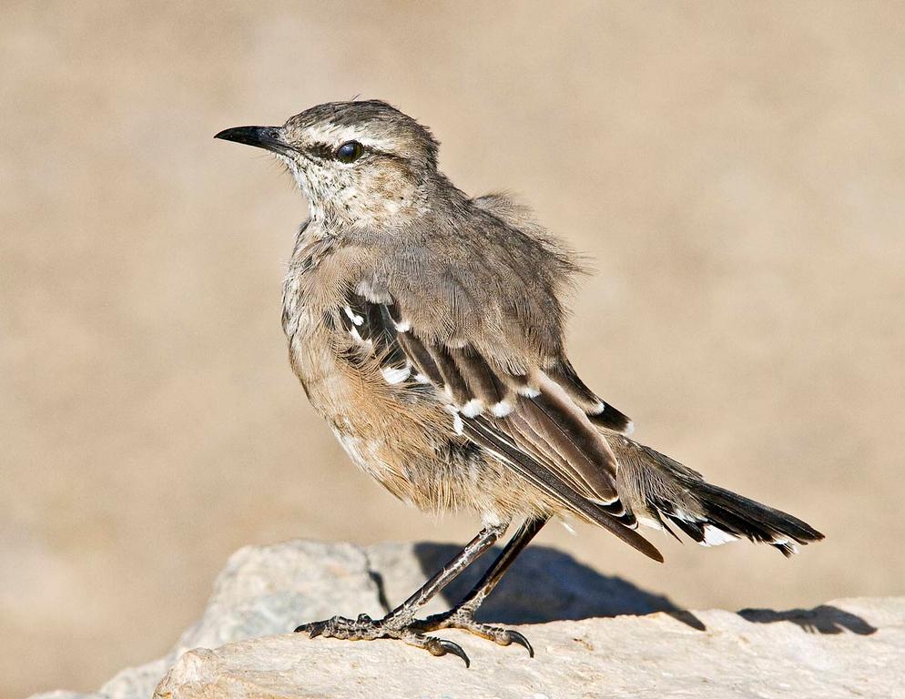 Bush ChalK Browed Mockingbird.