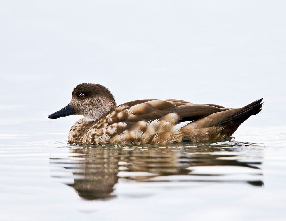 Crested Duck.