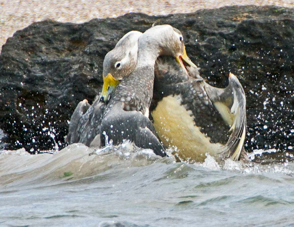 Steamer ducks fighting.