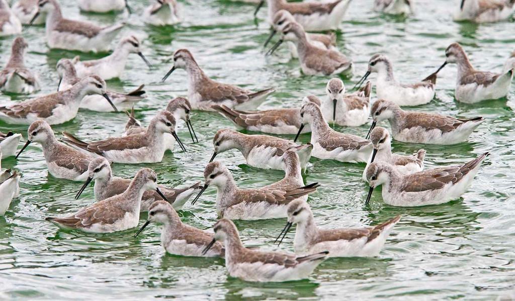 Migrating Wilson's Phalaropes at Trelew City Lake.