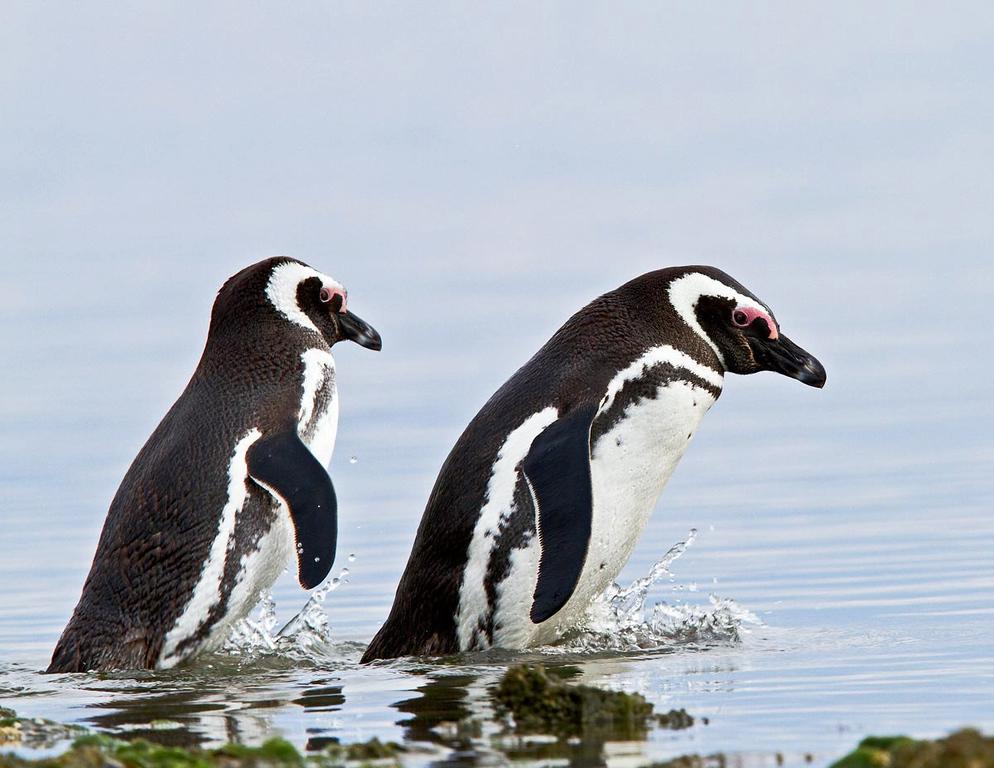Magellan Pinguins