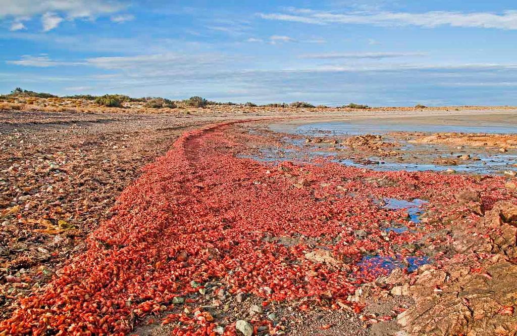 Krill Kill on the Beach of Bustamante.