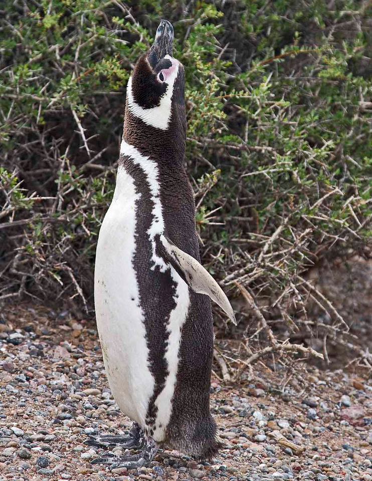 Magellan Penguins at Pta. Tombo, the largest penguin colony in Argentina.