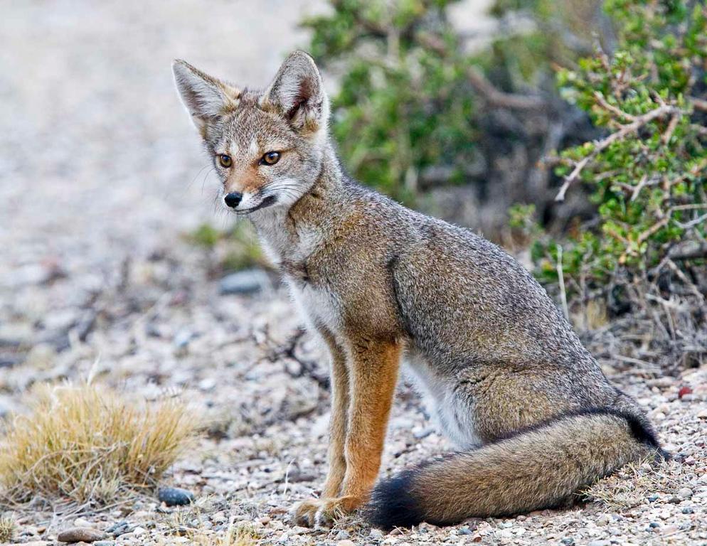 Young Fox in Bustamante