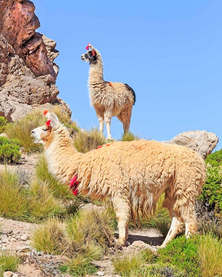Llamas in Quebrada de Curque. <br /> <br /> Route 40 NW Argentina