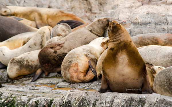 A male Patagonian Sea Lion (Otaria flavescens) appears to be dreaming in front of his harem on a little islet in the Beagle Channel near the City of Ushuaia. Patagonia, Argentina