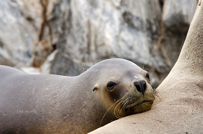 Sleepy young sea lion in southern Patagonia, Argentina