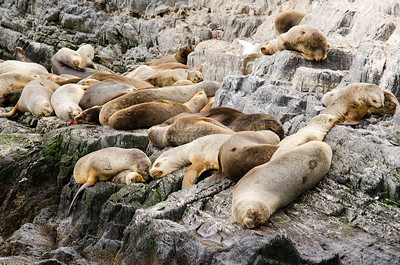 Sleeping Sea Lions (Otaria flavescens) on a little islet in the Beagle Channel near the City of Ushuaia. Patagonia, Argentina